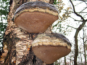 Hoof Fungus, Fomes fomentarius, on Silver Birch. Hayes Common, December 2011.  Photo by Bill Welch.