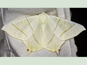 Swallow-tailed Moth, Ourapteryx sambucaria. Garden trap in Hayes, July 2012.  Photo by Bill Welch.