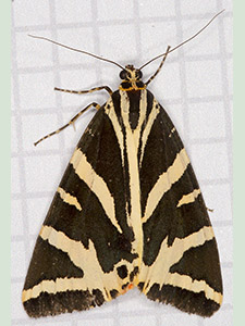Jersey Tiger, Euplagia quadripunctaria. Garden trap in Hayes, August 2012.  Photo by Bill Welch.