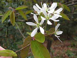 Juneberry, Amelanchier species.  Spring Park, 4 May 2013.  Photo by Bill Welch.