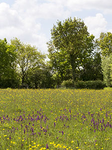 Field full of Green-winged Orchids, Anacamptis morio, with a Wild Service Tree, Sorbus torminalis, in the distance.   Marden Meadow, 25 May 2013. Photo by Bill Welch.