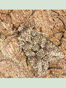 Brindled Green, Dryobotodes eremita.   Noctuidae.  Moth trap on West Wickham Common, September 2013.  Photo by Bill Welch.