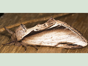 Oak Lesser Swallow Prominent, Pheosia gnoma.  Notodontidae.  Side view.  Moth trap on West Wickham Common, May 2013.  Photo by Bill Welch.