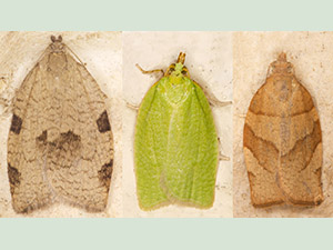 Three common members of the family Tortricidae.  Lozotaenia forsteriana; Green Oak Tortrix, Tortrix viridana; Barred Fruit-tree Tortrix, Pandemis cerasana.  Moth trap on West Wickham Common, June 2013.  Photo by Bill Welch.