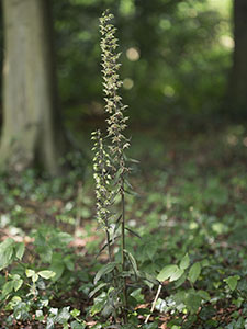 Violet Helleborine, Epipactis purpurata, on the Sand Walk at Down House, Downe, on 18 August 2012.  Photo by Bill Welch.