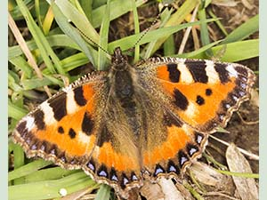Small Tortoiseshell Butterfly. Photo by Bill Welch.