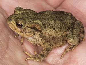 Common Toad, Bufo bufo. Photo by Bill Welch.